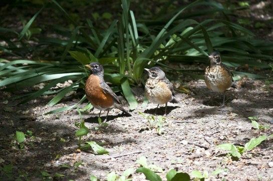 Robin-Family