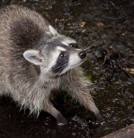 A raccoon with its hands in the water.