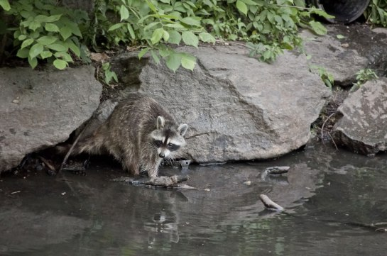 raccoon-2