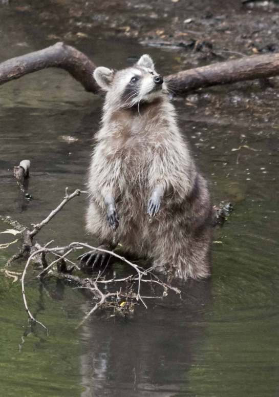 raccoon at the edge of a lake in shallow water standing on his hind legs looking up