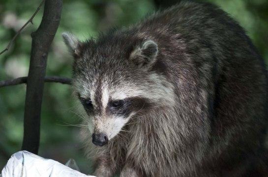 Raccoon-ofw