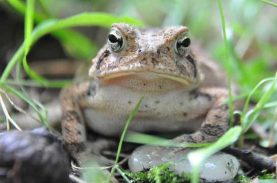 fowlers toad front view