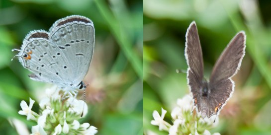 Eastern-Tailed-Blue