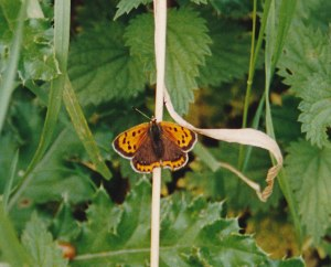 butterfly-in-england-cropped