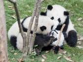Three pandas wrestling.