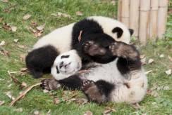 More panda wrestling.