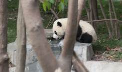 This guy spent so much time at the fountain, I began to think of him as Narcissus Panda.