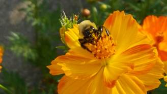The flowers attract a lot of both bumble bees and honey bees.