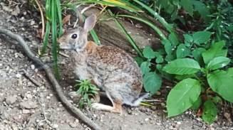 The rabbit was enjoying a dirt bath.