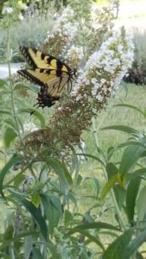 We have a lot of Tiger Swallowtails (Papilio glaucus) around.