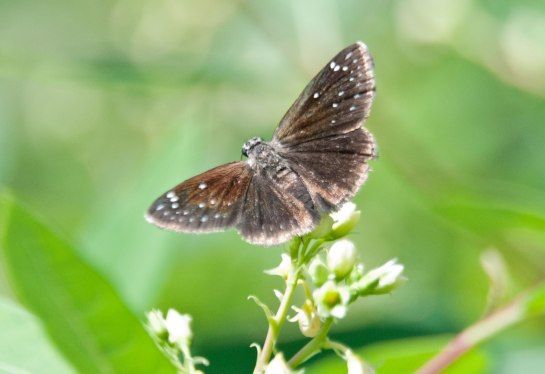 Common-Sooty-Wing-1