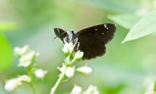 Common-Sooty-Wing