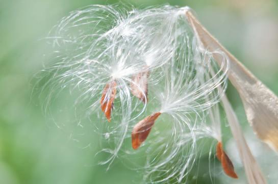 Milkweed-Seeds