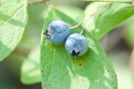 The year 2016, I learned, the 100th anniversary of the domestication of the blueberry.