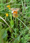 This is a Pearl Crescent butterfly on top of an Orange Milkwort (Polygala lutea).