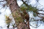 I was very happy to see an American Red Squirrel for the first time in my life.